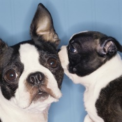 Secret Kiss From One Boston Terrier to Another